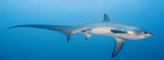 PADI IDC - Thresher Shark