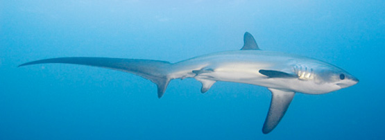 PADI IDC Thresher Shark